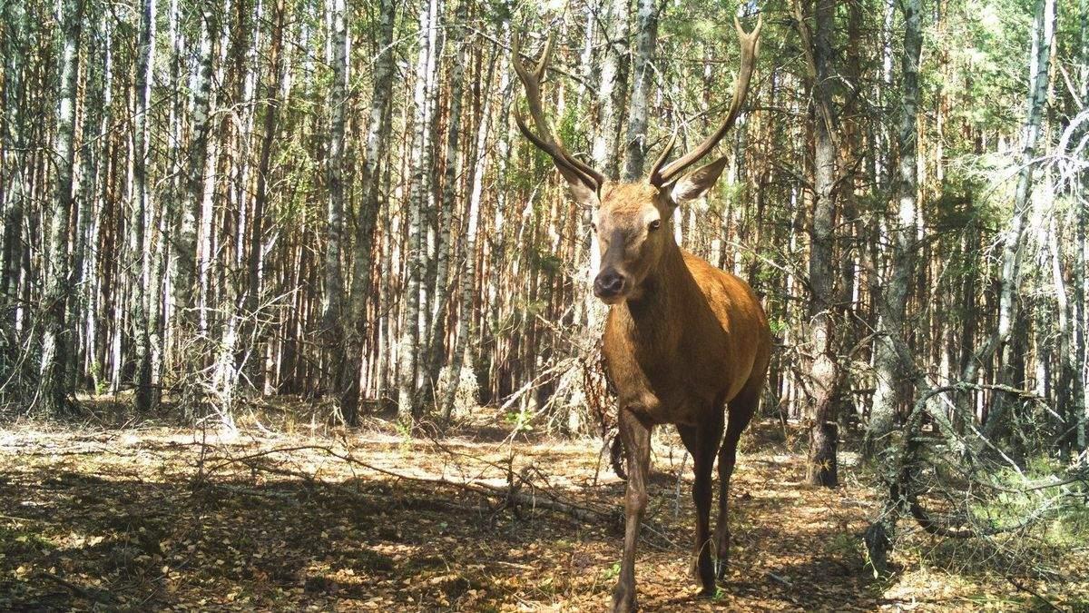 В Чернобыле фотоловушки зафиксировали редких животных