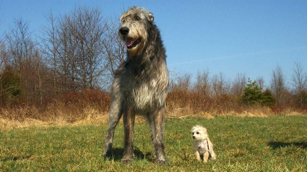 Добрый великан: описание собак породы ирландский волкодав