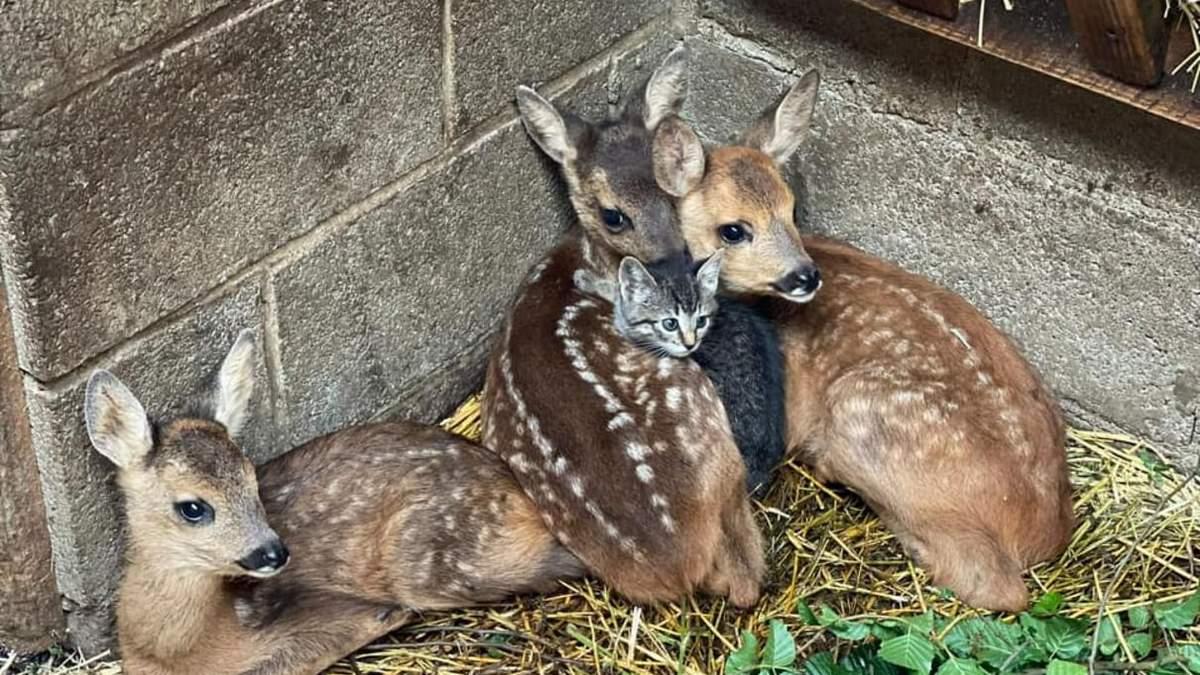 Осиротілі оленята у Бельгії подружилися з кошеням: фото і відео
