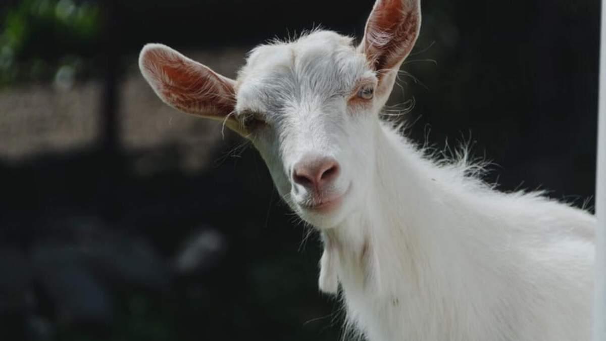 В Киеве возле здания МИД паслись козы: фото дня