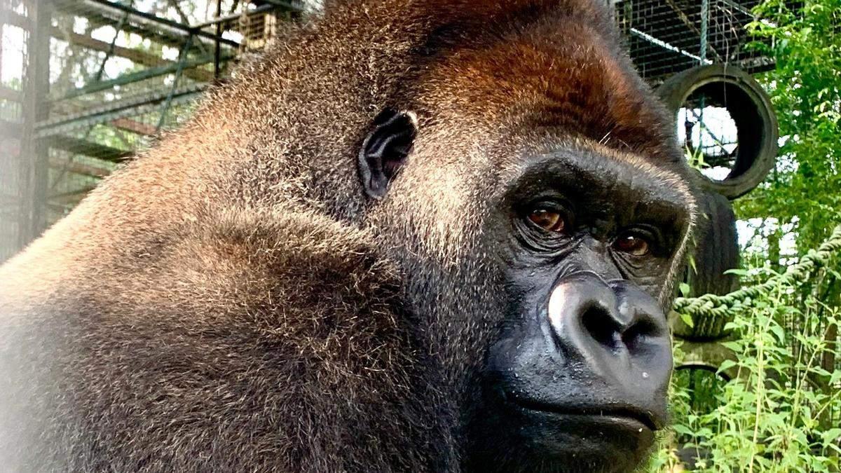 Вперше на волі: горила Джоші здолала 9 тисяч кілометрів до свободи