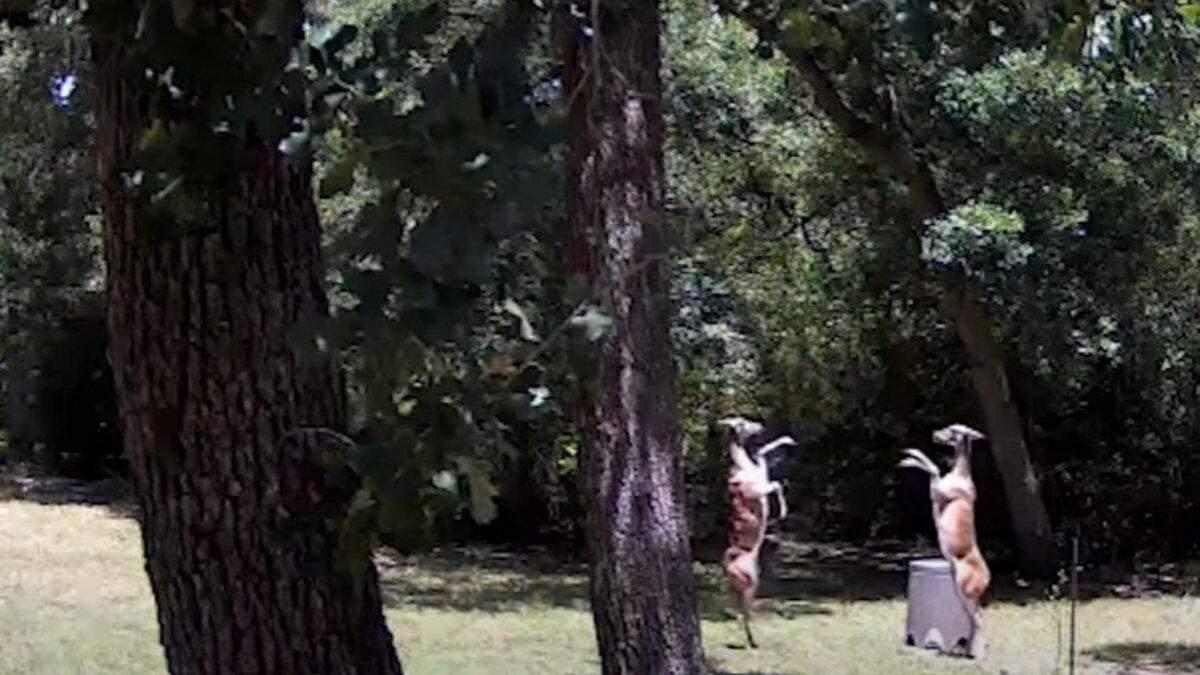 Схоже на танець: у Техасі зняли на відео елегантну битву оленів