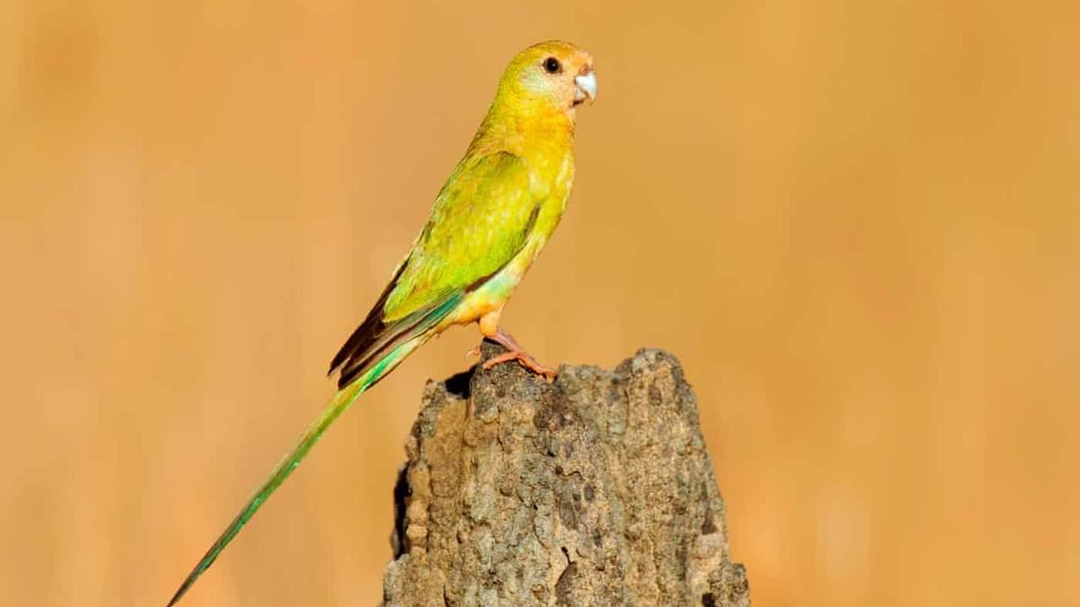 Мы теряем этих птиц: борьба за спасение золотоплечого попугая - Pets