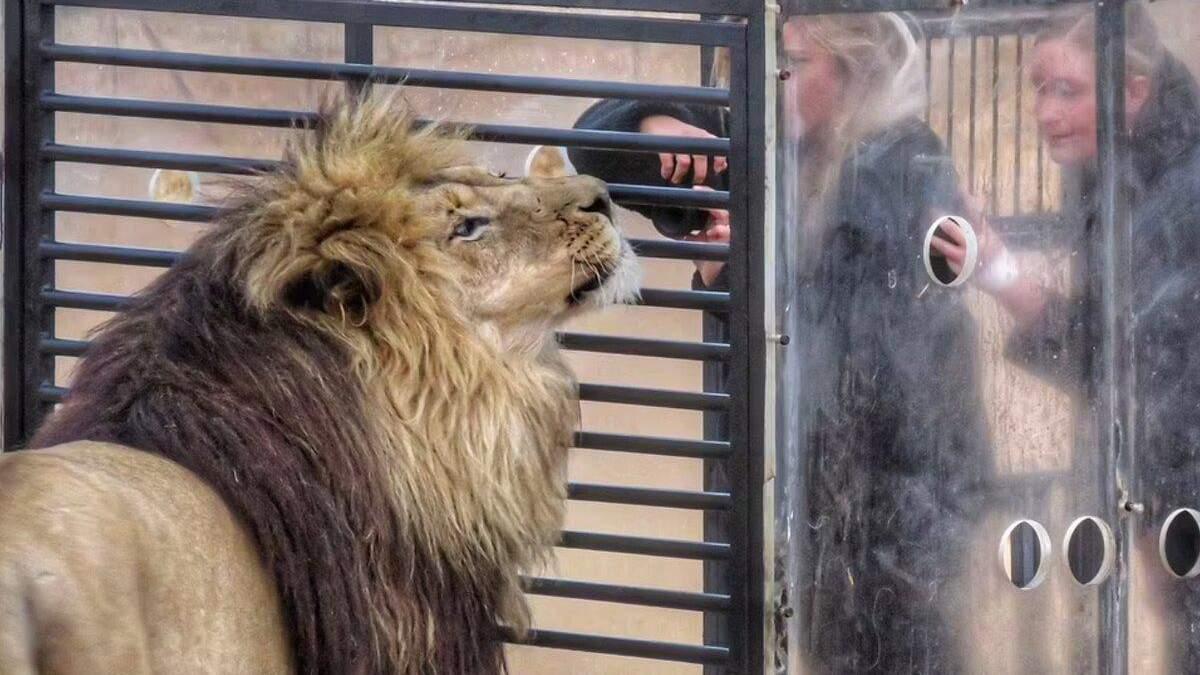 Зоопарк навпаки: у Південній Африці леви стрибають на клітку з туристами – епічні фото, відео - Pets