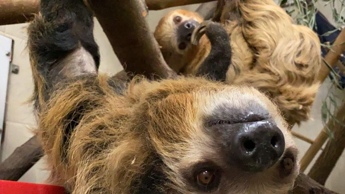 Вагітній лінивиці подарували м'яку іграшку: наймиліше фото дня - Pets