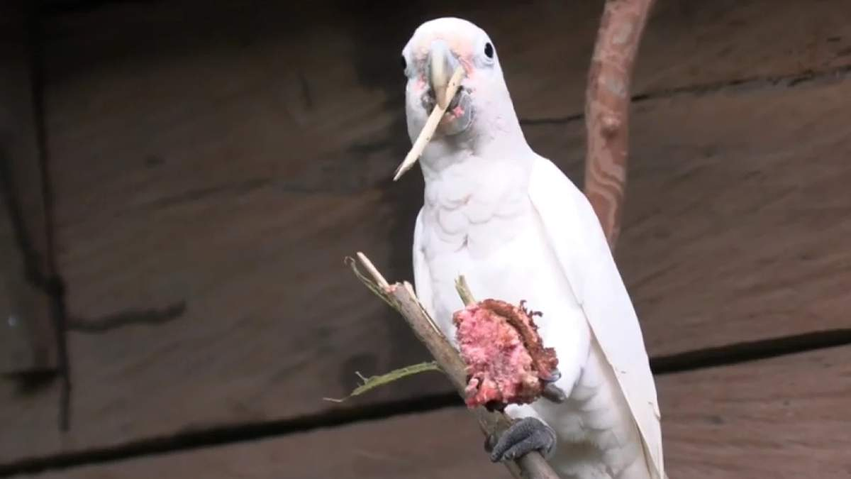 Папуги какаду можуть виготовляти інструменти, щоб виїсти серединку фруктових кісточок - Pets