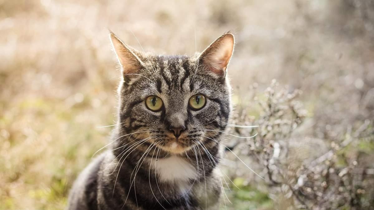 Як у кішок з'явилися смуги: цікаве пояснення вчених - Pets