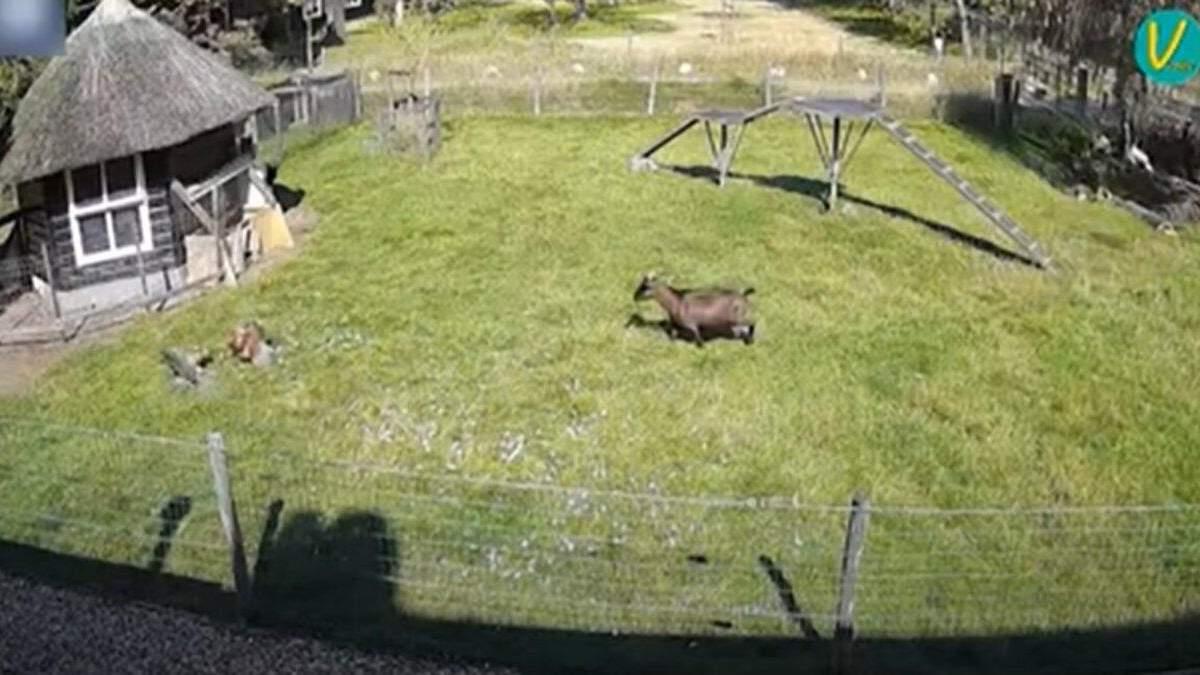 Герои дня: козел и петух спасли курицу от ястреба –впечатляющее видео - Pets