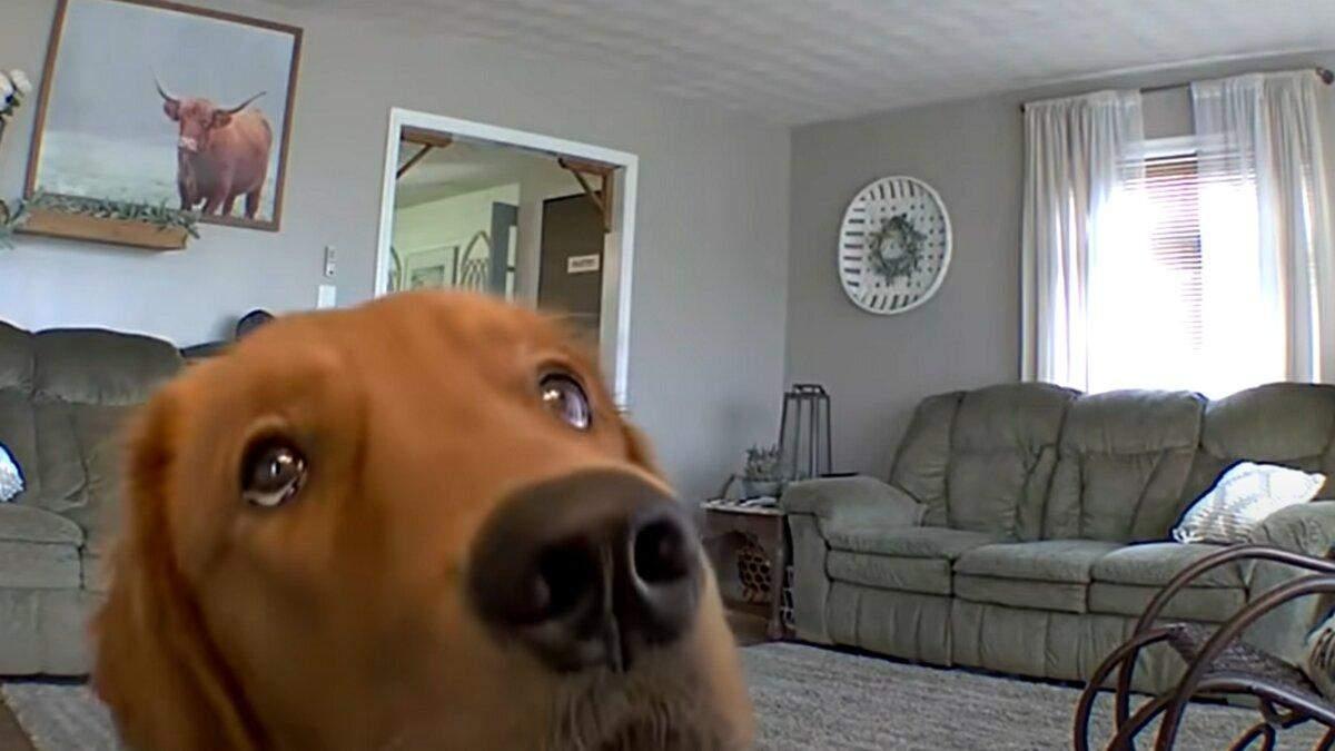 Золотистий ретривер побачив приховану камеру: кумедна реакція собаки підкорює мережу - Pets