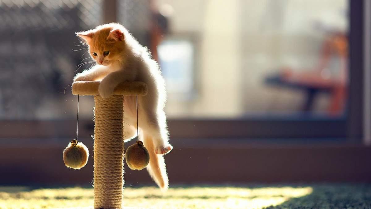 Як навчити кошеня користуватися дряпкою для кігтів: практичні та дієві поради - Pets