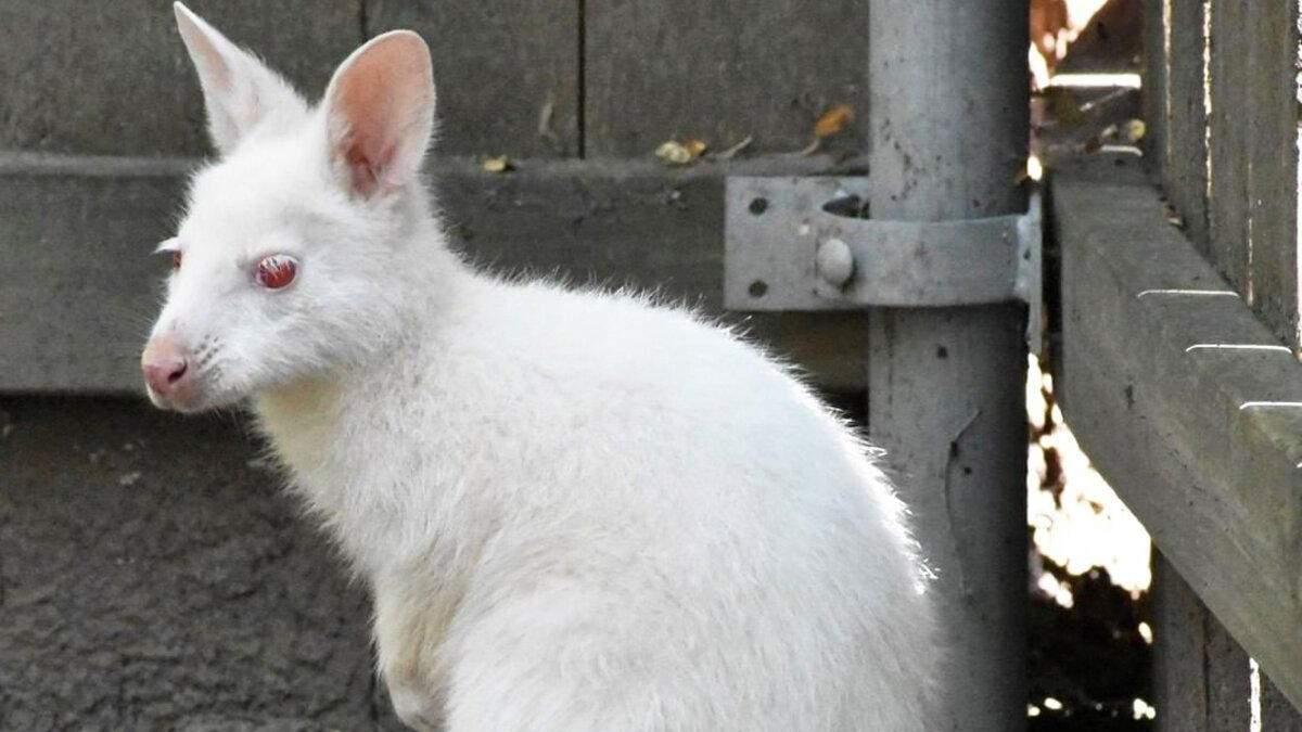 Білий з червоними очима: фото унікального малюка-стрибуна опублікував американський зоопарк - Pets