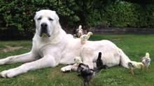 Хаскі, лабрадори, такси: 23 популярних породи собак, які не зможуть жити у квартирі