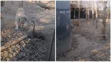 Сміливий гусак показав двом тиграм, хто у зоопарку хазяїн: кумедне відео