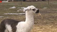 Любить гратися і їсти: в екопарку під Полтавою народилася лама