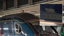 Хвостатий хуліган: у Великій Британії кіт затримав потяг на 2,5 години