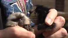 Двойня обезьянок и редкие тигры: в зоопарке Бердянска родились новые звери – фото