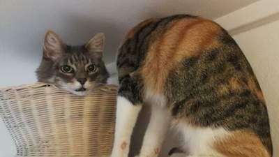 Потеряла голову: в сети распространяют оптическую иллюзию с кошкой