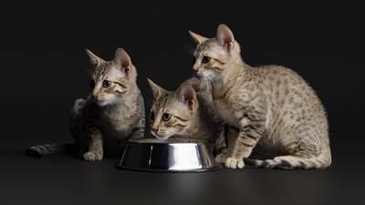 Purina Pro Plan: лінійка раціонів для стерилізованих котів