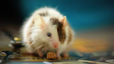 Вчені змусили мишей стати друзями: як їм це вдалося