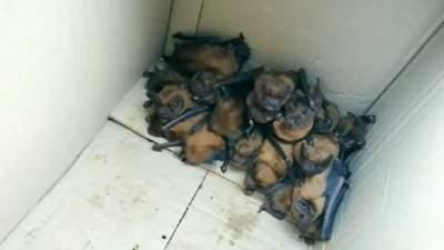 На Прикарпатье в кабинете врача поселилась колония редких летучих мышей