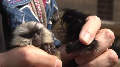 Двійня мавпенят та рідкісні тигри: у зоопарку Бердянська народилися нові звірі – фото