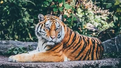 Международный день тигра: почему они под угрозой исчезновения и как это меняют