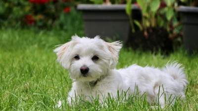 Гипоаллергенные собаки: 10 оптимальных пород