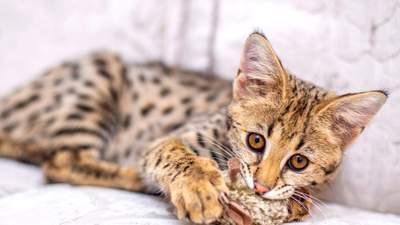 Донька дикого сервала: головне про породу кішок саванна