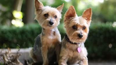 Тим, хто не любить гуляти: 5 маленьких порід собак, яким добре у квартирі