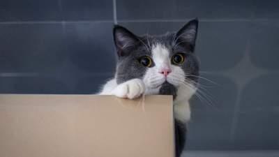 Чому коти люблять ховатися і коли це свідчить про стрес