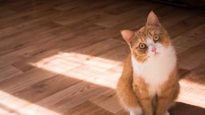 Кот ходит за хозяином повсюду: свидетельствует ли это только о любви