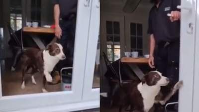 Пес смешно пытался выйти через дверь без стекла: видео попыток четвероногого