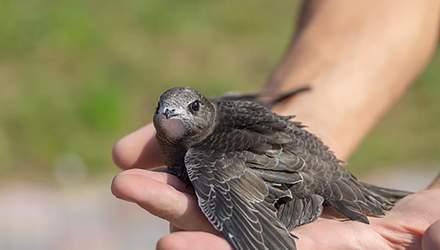 Птицы, которая не умеет ходить: интересные факты о черном стриже