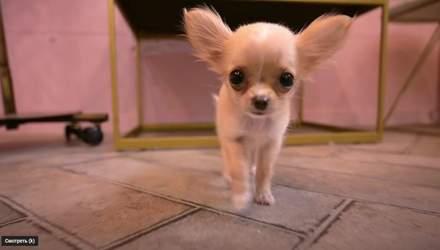 Впервые у парикмахера: видео с милым щенком посмотрели 2 миллиона человек