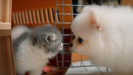 Котенок и шпиц растут вместе: милое видео, которое посмотрели почти 40 миллионов человек