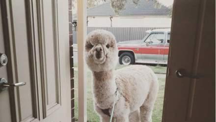 Ездит в машине и спит на коврике: как живет альпака, у которой полмиллиона подписчиков