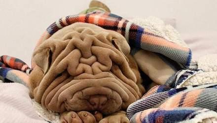 Слишком много кожи: из-за патологии шарпей стал популярным в сети