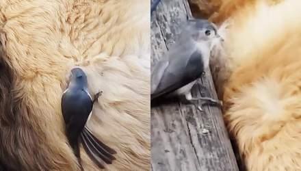 Птичка украла шерсть у собаки, пока та спала: смешное видео