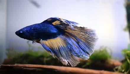 Как спит рыба бетта и можете ли вы помочь ей отдохнуть: советы ветеринара