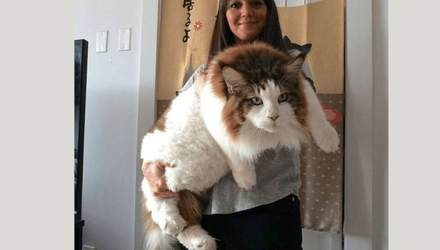 Пушистые гиганты: фото действительно больших домашних кошек