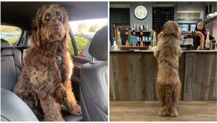 Собачка-гигант Майло: 1,5-метровый красавец, которого принимают за Чубакку