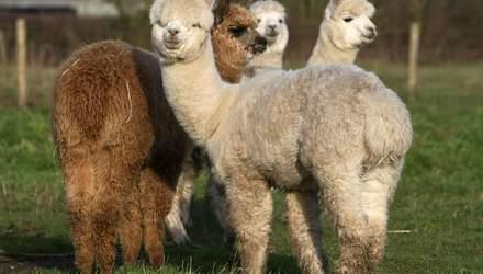 У альпаки нашли антитела против коронавирусов у людей