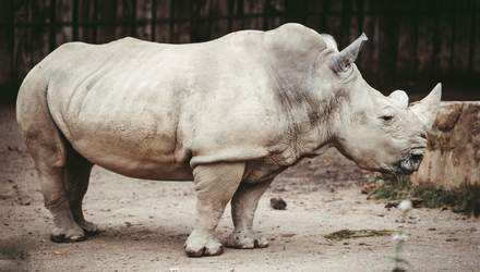 День защиты носорога: кого боятся эти животные и какого вида носорогов больше нет на свете