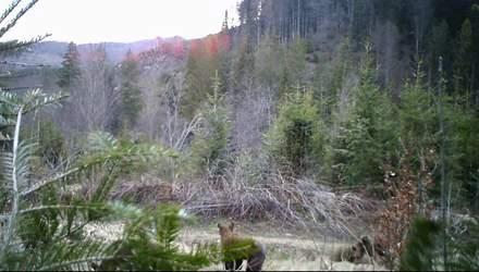 """В Черновицкой области камера """"поймала"""" семейство исчезающих бурых медведей: видео"""