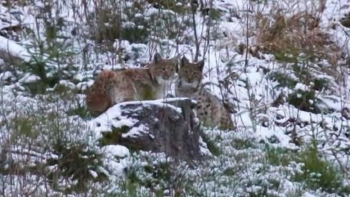 В Карпатах фотографу удалось снять на камеру краснокнижную рысь: редкие фото