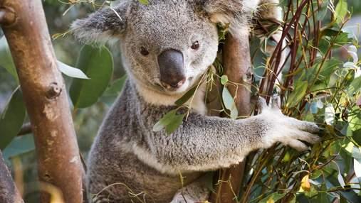 Из-за коал может вымереть почти весь эвкалипт: ученые придумали метод, как это остановить