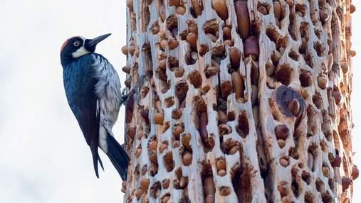 Как желудевый дятел превращает деревья в сито: удивительные фото