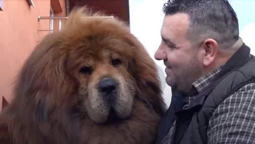 Собака-лев: где живет самый красивый в мире тибетский мастиф