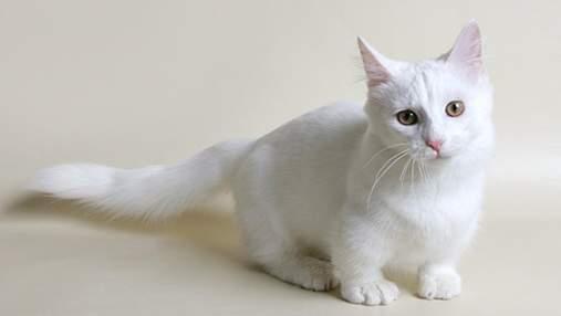 Манчкин: как появились кошки с короткими лапками и почему их не признает Великобритания