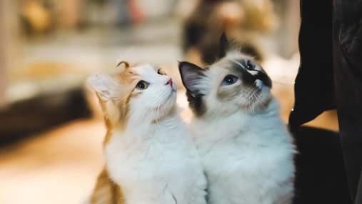 Яка порода котів підходить вам: пройдіть тест та дізнайтеся